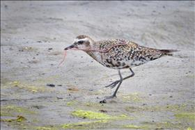 Juvenile Black Bellied Plover With Worm