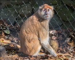 Patas Monkey with baby suckling