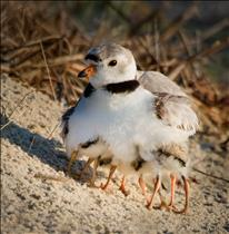 Piping Plover Warming Four Babies