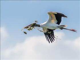 Wood Stork With Nest Material In Flight