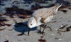Plover on the Gulf Coast