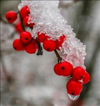 __nU945ekm_00045_Winterberries.jpg