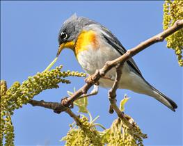 Parula Warbler pulling out a caterpillar