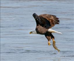Bald Eagle Grabs Fish