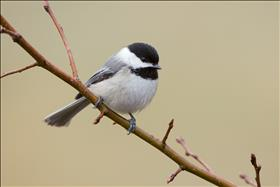 Black Capped Chickadee on Branch