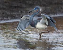 Tricolor Heron Fishing