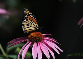 Monarch feeds on wild coneflower