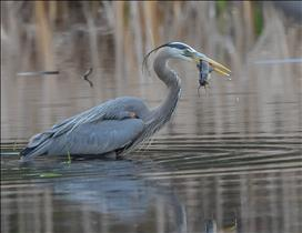 A successful Heron