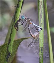 Dasher Male and Female