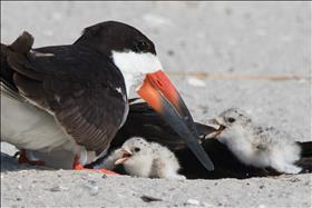 Black Skimmer with excited babies