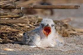 Tern Chick Crying Out Loud