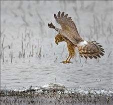 Northern Harrier Landing on Snow Goose